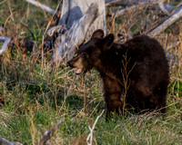 Elk Creek Black Bear Family 4