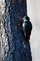 Black-backed Woodpecker - Male - Lolo Burn Area 3