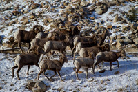 Bonner Bighorn Herd December 2014 -12