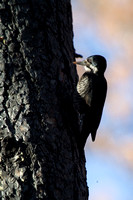 A female black-backed woodpecker flaking bark off the scorched bark of a fire killed tree.