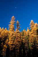 Fall Western Larch Tree Color 2013 -3