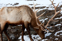 Yellowstone Bull Elk #10 at the end of winter - skinny with ribs and hip bones visible