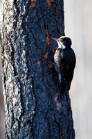 Black-backed Woodpecker - Male - Lolo Burn Area 2