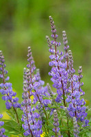 Tall Lupine 2