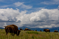 bison grazing under white cumulous clouds with the Mission Mountains in the background