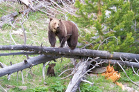grizzly bear sow and her cub