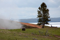 grizzly bear eating grass at Steamboat Point - Yellowstone National Park