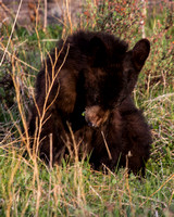 Elk Creek Black Bear Family 9