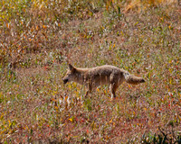 Mousing Coyote 3