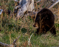 Elk Creek Black Bear Family 2