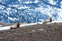 a pair of bull elk rest on a ridgeline in early winter