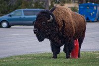 bull bison rubbing a belly itch on a red fire hydrant