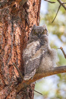 Great Horned Owl Fledgling -2