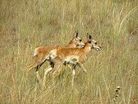 Twin Pronghorn Antelope Fawns