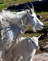 mother nanny mountain goat and her kid