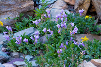 Pleated Gentian Rock Garden