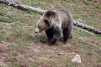 Grizzly Bear Stroll 10