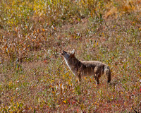 Mousing Coyote 6