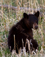 Elk Creek Black Bear Family 15