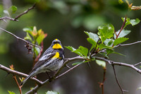 Audubon's Yellow Rumped Warbler Showtime 1
