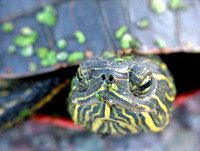 Painted Turtle Closeup 2