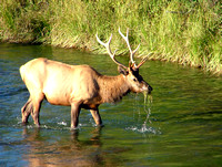 A young bull elk pulls water moss growing in the stream bed of Mission Creek.