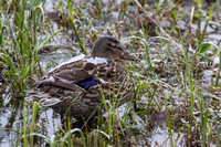 Mallard Hen in the Snow