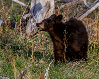 Elk Creek Black Bear Family 3