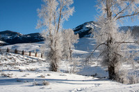 The cottonwood trees around the Yellowstone Institute / Buffalo Ranch wearing white winter frost