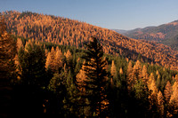 Fall Western Larch Tree Color 2013 -4