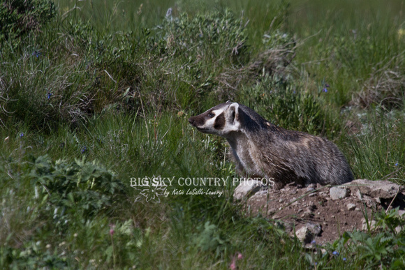 Badger at Den - Blacktail Plateau 12
