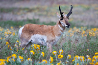 pronghorn antelope buck grazing in arrowleaf balsamroot flowers