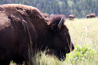 a single bison in foreground with a bison herd in background