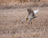 sandhill crane hunting mice