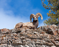 Rocky Mountain bighorn sheep ram bedded down at the edge of a cliff affording a wonderful vantage point over Yellowstone National Park's Lamar Valley