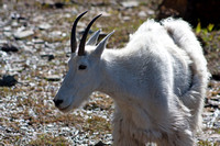 shedding nanny mountain goat