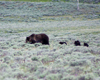 Quad Mom grizzly bear sow with her four cubs