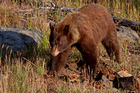cinnamon red colored black bear with blonde highlighs on shoulders