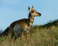 pronghorn antelop doe