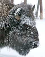 closeup of bison head crusted with snow
