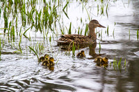 Mama Mallard and Her Brood 4