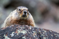 Sheepeater Cliff Marmot 2