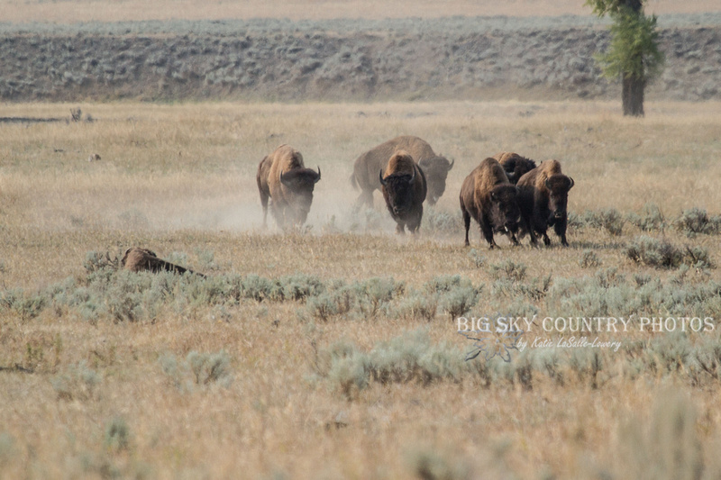 small bison stampede