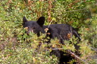 American black bear with ears raised in alert to the approach of an intruding bear