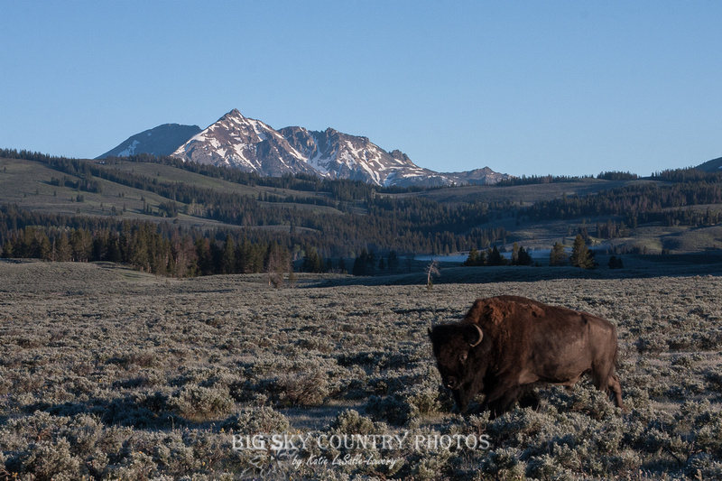 bull bison with Electric Peak in the background - Yellowstone National Park
