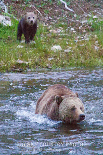 grizzly sow entering river with cub remaining on bank
