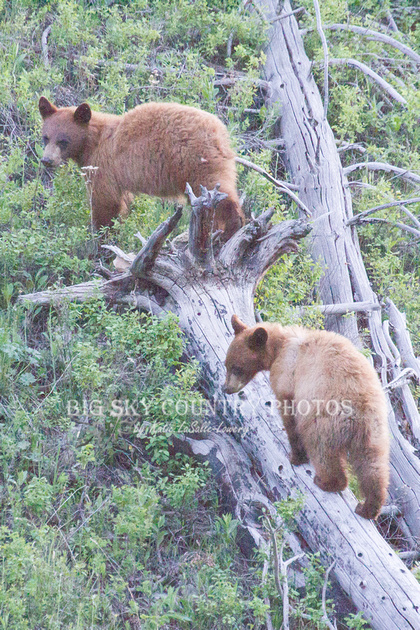 Two second year cinnamon colored black bear cubs on/around a fallen log