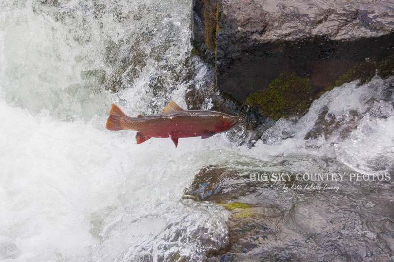 A Yellowstone cutthroat trout, wearing the ruby tones of the spawning season, makes a leap upstream at LeHardy Rapids on the Yellowstone River