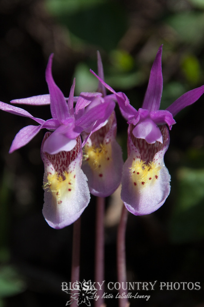 Calypso orchids growing at Trout Lake in Yellowstone National Park