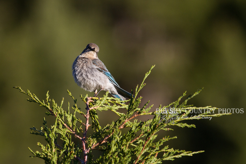 A female mountain bluebird perch atop the apex of a juniper